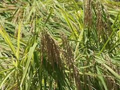 地元で収穫される「いすみ米」の収穫風景